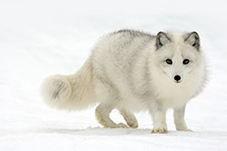 artic-fox-wallpaper-thumb.jpg