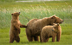 bear-family-wallpaper-thumb.jpg