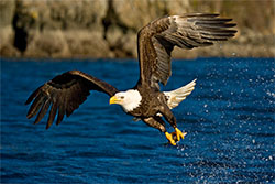eagle-fishing-thumb.jpg