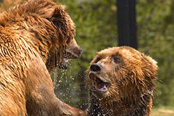 yellowstone-grizzlies-thumb.jpg