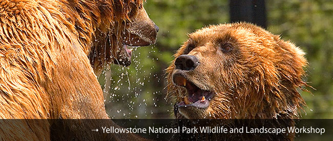 Yellowstone Wildlife Photography Workshop