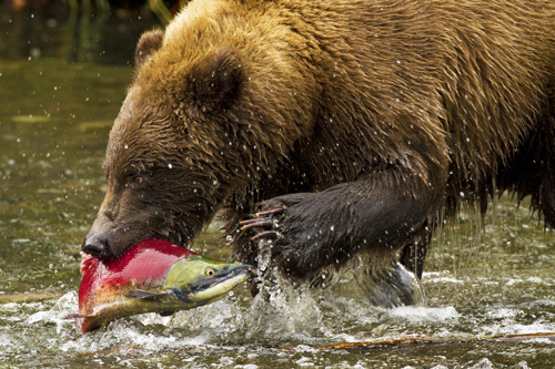 Grizzly Bear Photography Workshop