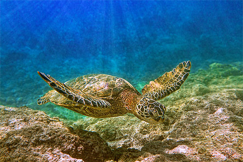 Honu, sea turtle enjoying the coastal waters of Hawaii. Photo by Stephen W Oachs